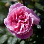 Rose Line Renaud, F. Fillon©