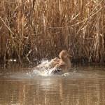 Canard sur l'étang de Vaugrenier, F.Fillon©