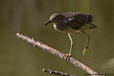 Heron-Bihoreau-0299-Vaugrenier