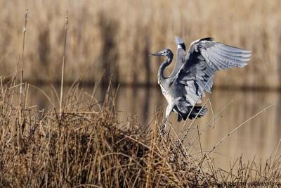 Heron-Cendre-5-Vaugrenier