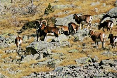 Mouflons-3-Fenestre