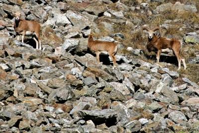 Mouflons-9-Fenestre