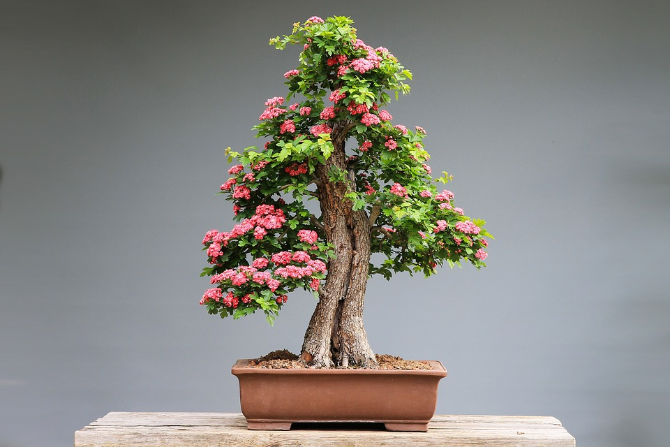 L'art bonsaï fête l'automne