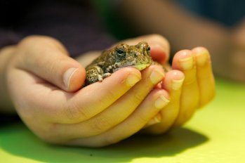 Girl holding Natterjack Toad in Toad Hall at Slimbridge