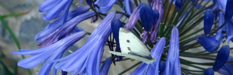 Cabbage white butterfly on Agapanthus at The Cottages