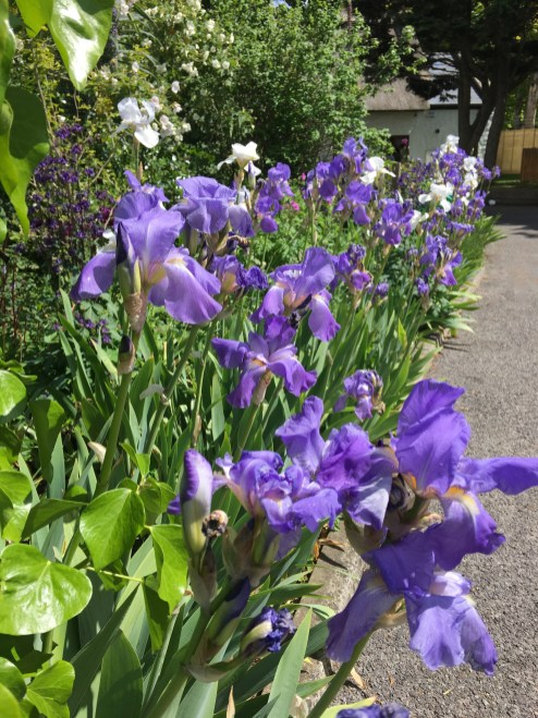 A beautiful river of bearded Iris