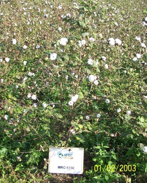 MRC 5156 Cotton Seeds For Your Garden Or Farm