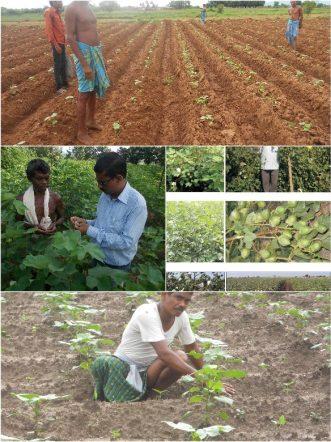 The cotton for our Cotton Roots clothing grown by Pratima Growers group