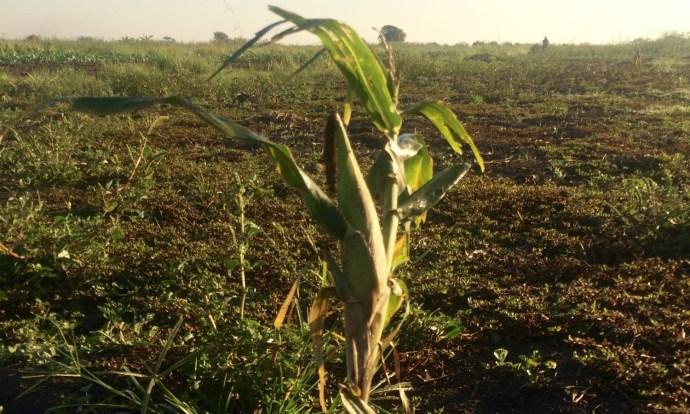mozambique-maize