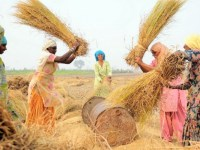 Rice threshing near Sangrur, SE Punjab, India. (Photo:  Neil Palmer (CIAT)/flickr/cc)