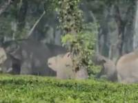 A herd of wild jumbo at Bhutiachang TE of Udalguri district of Assam.