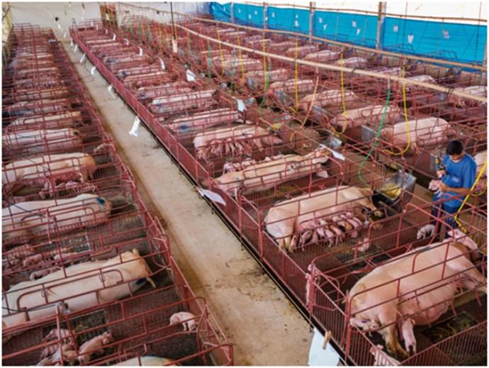 pig-farm