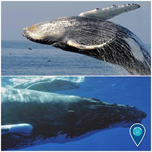 hump-back-whale