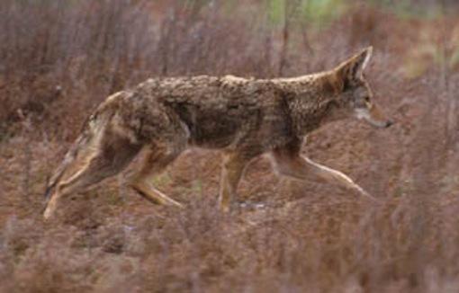 Coyote. Photo: Jeffrey St. Clair