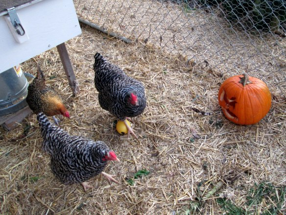 Happy backyard chickens