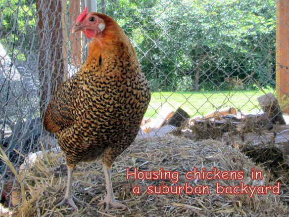 Suburban backyard chicken