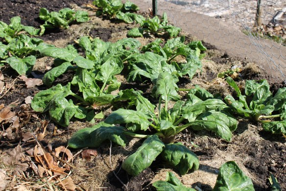 Early spring spinach in the kitchen garden