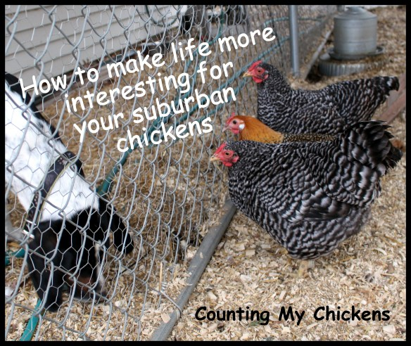 How to make life more interesting for your suburban chickens