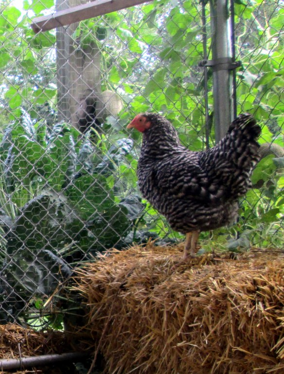 Chicken on straw bale