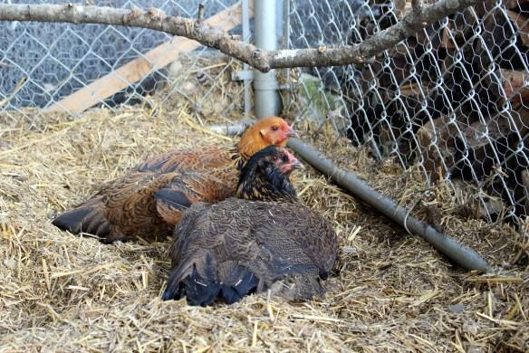 Easter Egger hens
