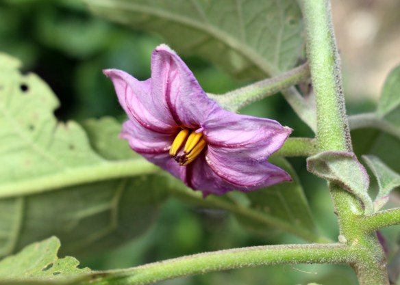 eggplant blossom
