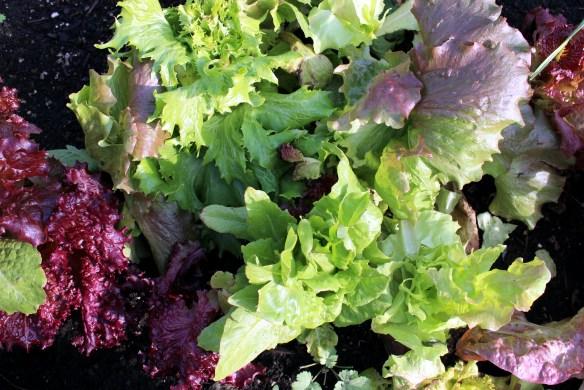 Mixed lettuce greens