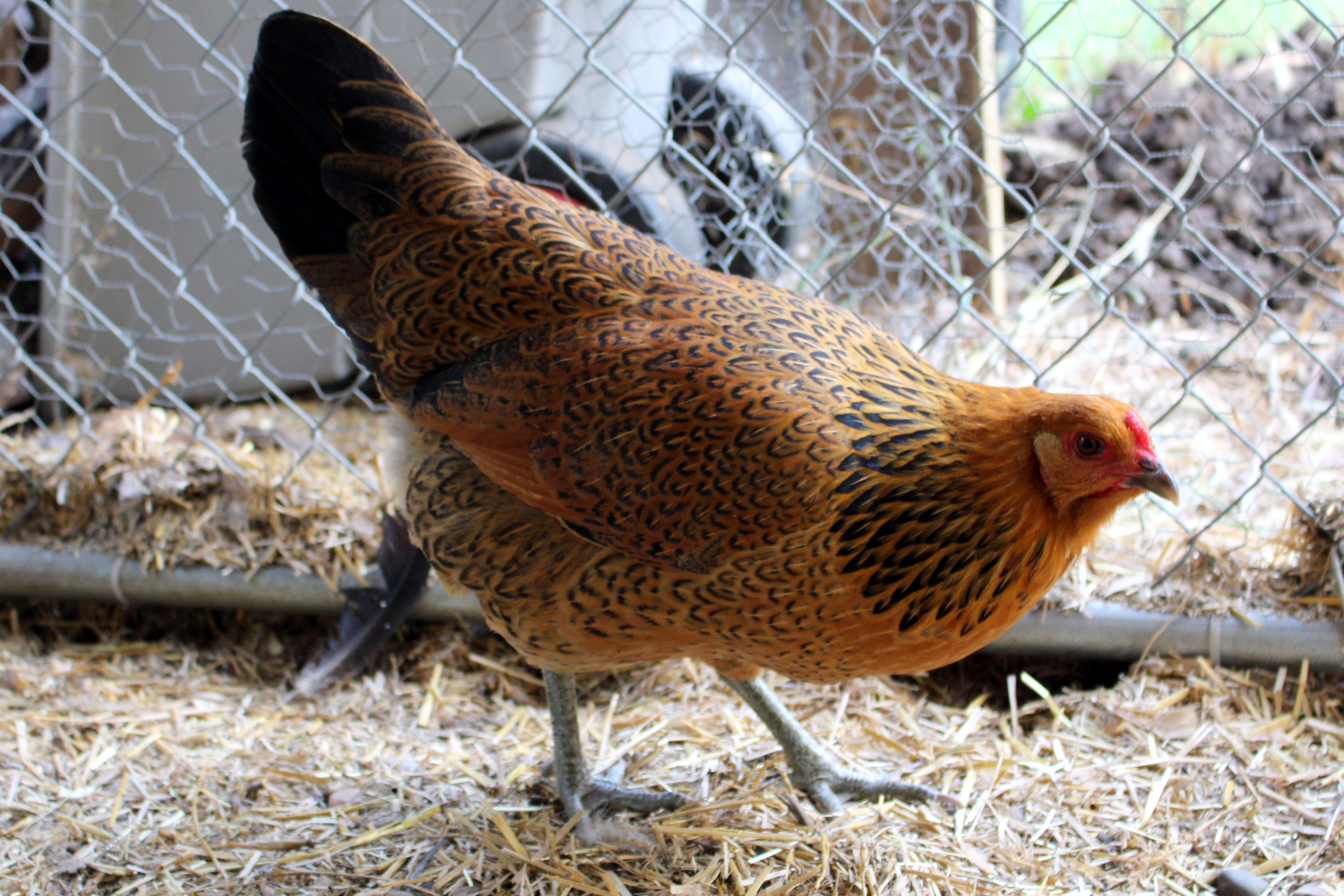 caring for your chickens in winter a guidecounting my chickens