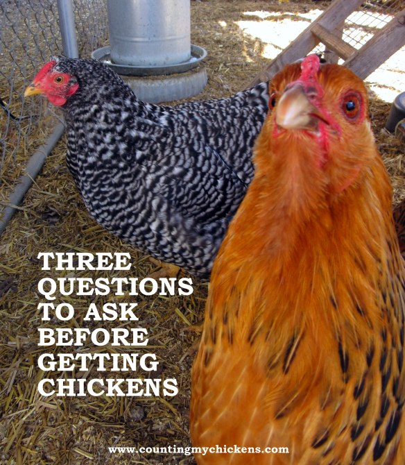 Three questions to ask before getting chickens