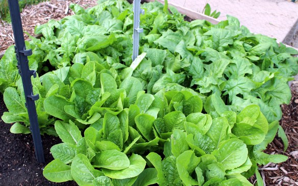 Giant Caesar lettuce and America spinach