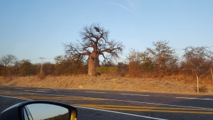 Baobab trees in northern South Africa