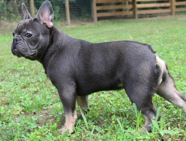 french bulldog adults - country hills kennel
