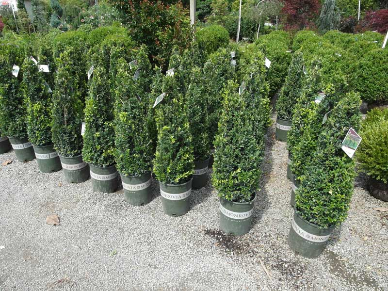 Monrovia Cone Shaped Boxwoods