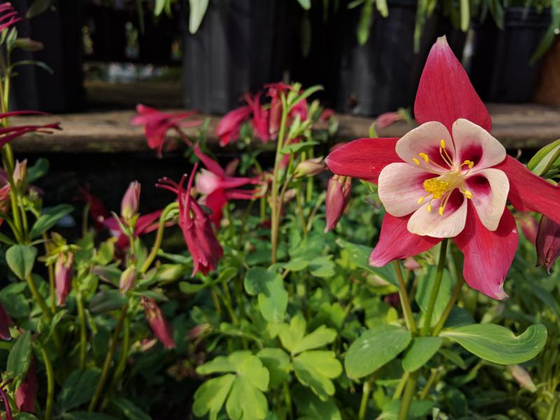 Columbine flower up close
