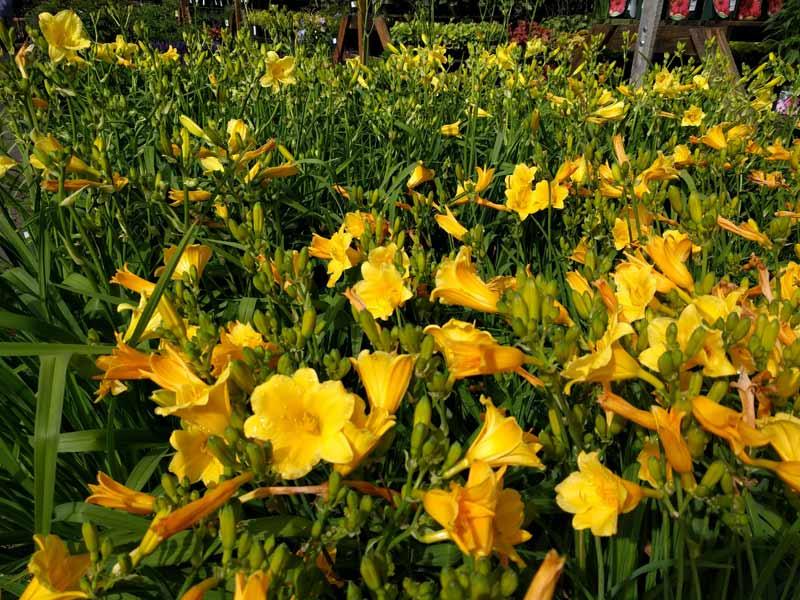 Stella D'Oro Daylily in flower.