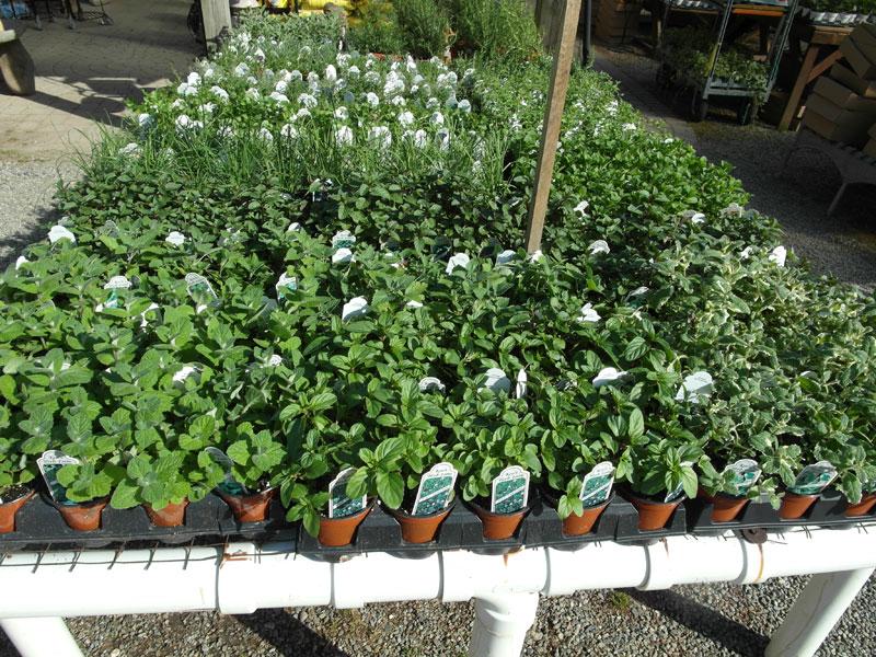 A full table of warm season herbs.