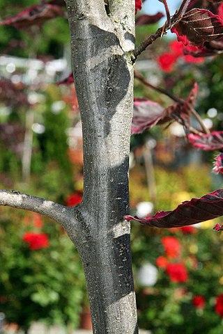Fagus sylvatica Roseomarginata Tricolor European Beech bark up close.