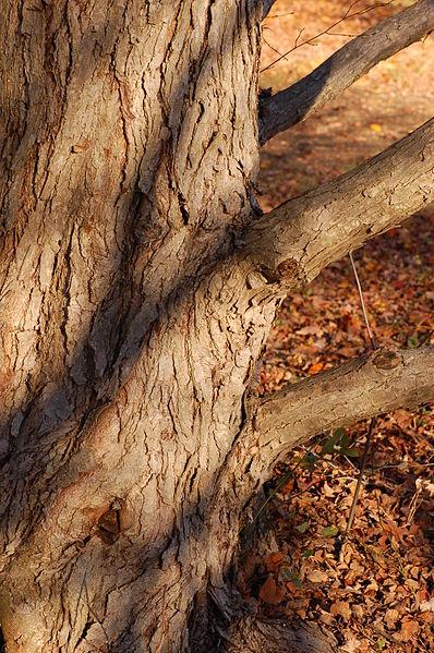 Katsura Tree bark showing its rough texture