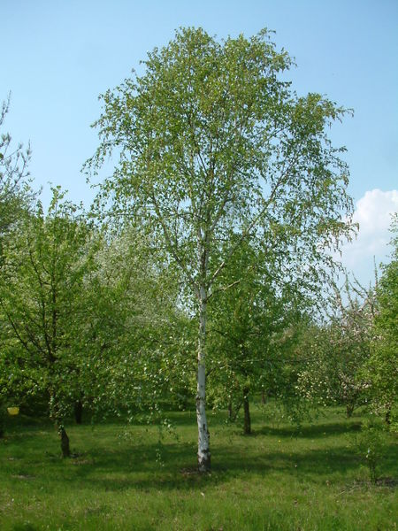 Single Stem Jacquemontii Birch