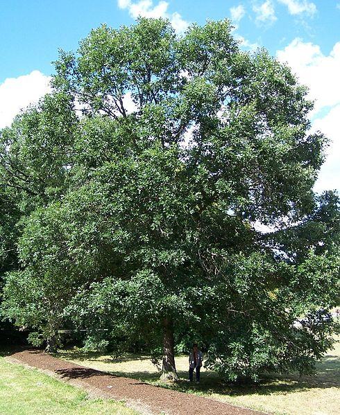 Swamp White Oak overall habit/form of mature tree