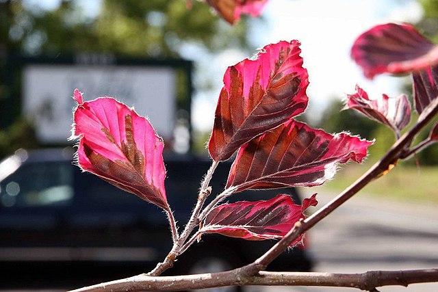 Tricolor European Beech Fagus sylvatica 'Roseomarginata' beautiful multi colored leaves up close