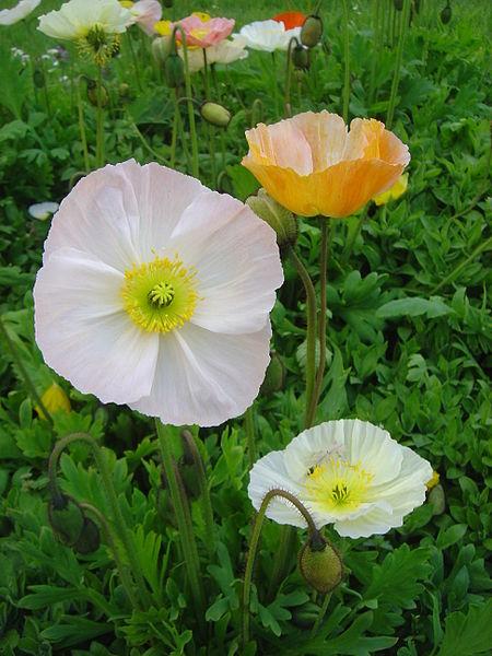Bowl shaped flowers of Iceland Poppy