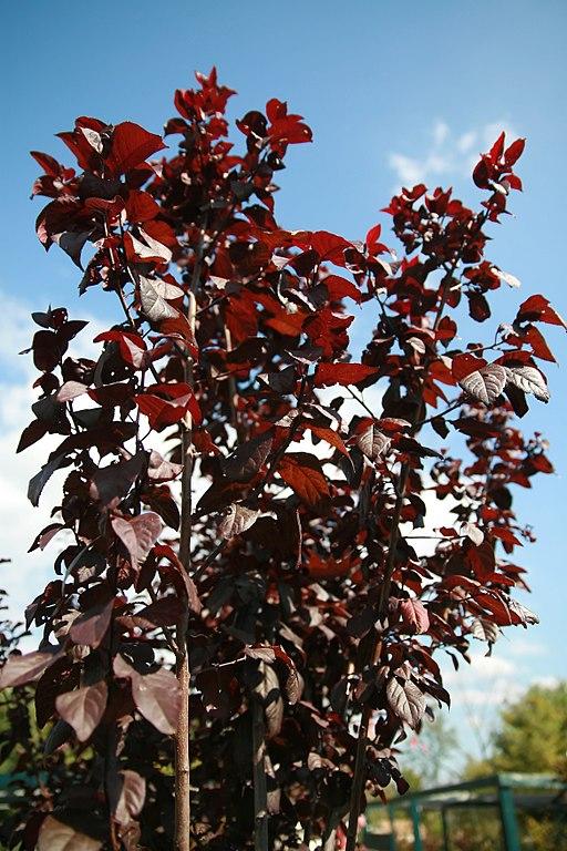 Prunus Thundercloud maroon foliage
