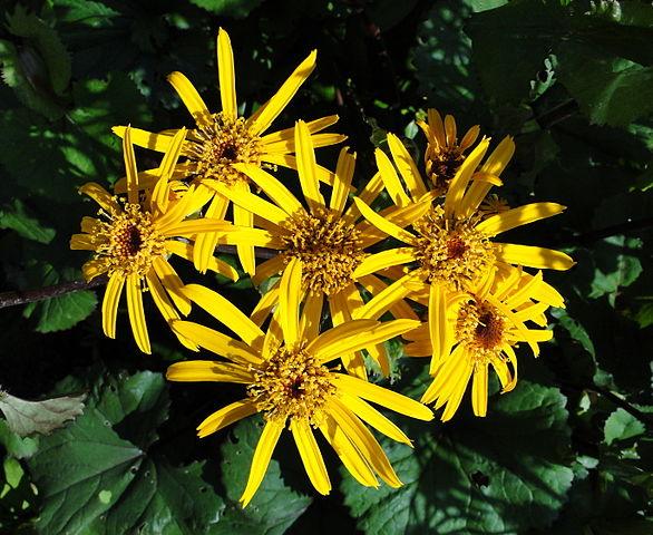 Ligularia flower blooms with foliage beneath