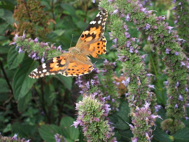 Butterfly on Blue Hyssop flowers