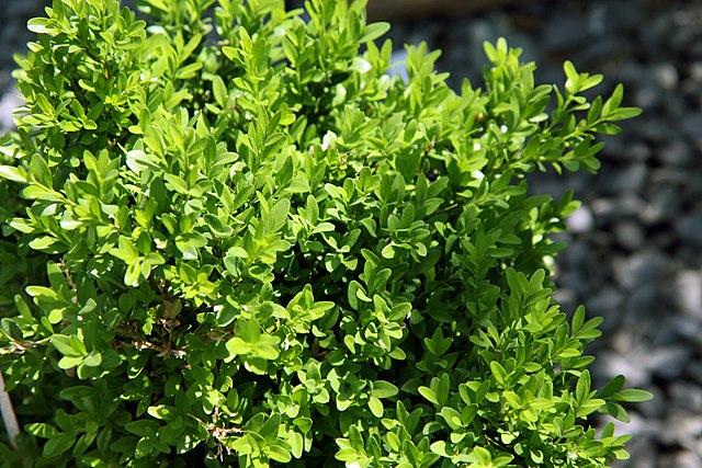 Justin Brouwers Boxwood foliage