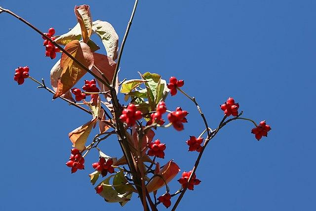 Cherokee Princess Flowering dogwood red berries