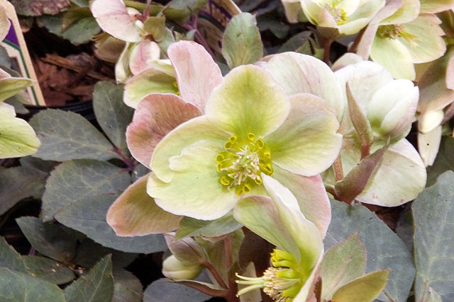 Ivory Prince Lenten Rose Flowers creamy white to pink color