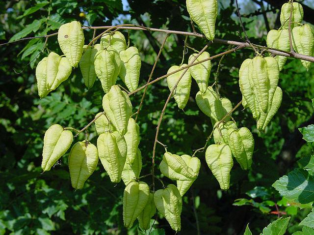 Golden Rain Tree unique lantern shaped seed pods.