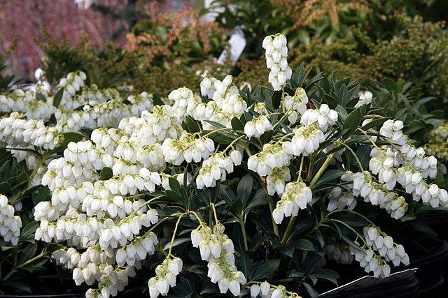 Cavatine Andromeda evergreen foliage and white flowers