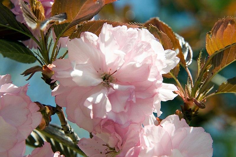 Royal Burgundy double pink flower